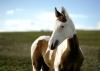 Nellahorse - Horzer horse breeder