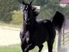 Arabian13 - Horzer horse breeder