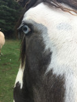 Barad - Male American Paint Horse (2 years)
