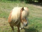 Poly - Male Shetland Pony (10 years)