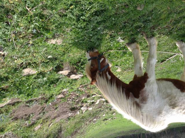 Fun - Male Connemara Pony