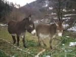 Ânesse et bébé - Grand noir du Berry Donkey