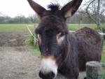 Prosper le meilleure - Male Grand noir du Berry Donkey (15 years)