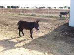 Manchita - Grand noir du Berry Donkey (8 months)