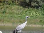 Grue du Parc du Marcanterre - Crane