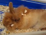 Choco - Male Dwarf rabbit (2 years)