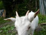 blanchette - Goat