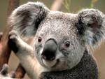 koala - (2 months)