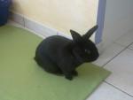 Pompon - Male Rabbit