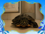copa - Male Turtle (3 years)